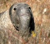 Elephant Seal 4_Male