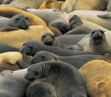 Elephant Seal 6_Rookery