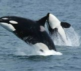 Killer Whale 1_Breaching