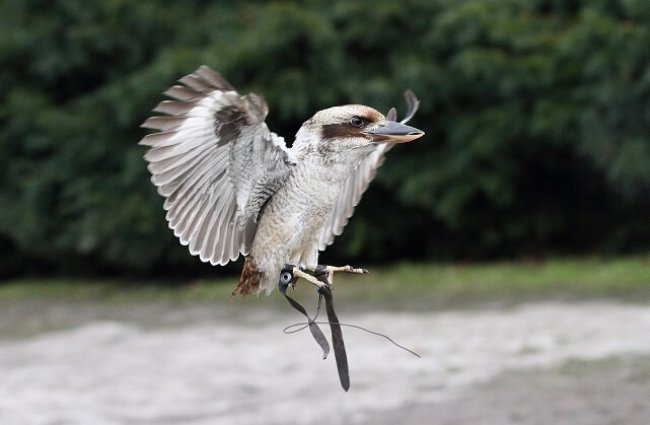 Laughing Kookaburra in flight