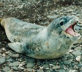 Leopard Seal 1_Pd