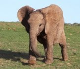 Baby_African_Elephant_On_Grassland