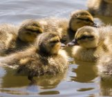 Baby_Duck_Group