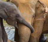 Baby_Elephant_Cuddling_With_Mother