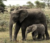 Baby_Elephant_With_Mother