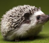 Baby_Hedgehog_Cute