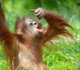 Baby_Orangutan_Playing