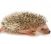Baby_Pygmy_Hedgehog
