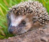 West_European_Hedgehog