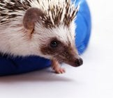 White_Baby_Hedgehog