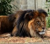 African Lion 7