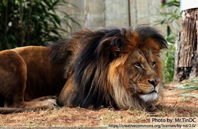 African Lion Description Habitat Image Diet And Interesting Facts