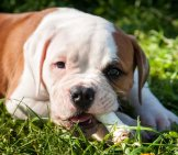 Red American Bulldog Puppy Eating A Bone. Photo By: Photo By: (C) Infinityyy Www.fotosearch.com