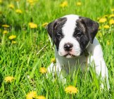 American Bulldog Puppy Playing In The Park. Photo By: (C) Colnihko Www.fotosearch.com