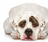 American Bulldog. Photo By: (C) Fotojagodka Www.fotosearch.com