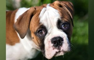Closeup portrait of an American bulldog puppy. Photo by: (c) infinityyy www.fotosearch.com