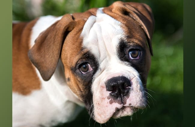 American Bulldog Description Energy Level Health Image And