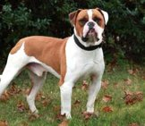Beautiful American Bulldog Photo By: By Tha1Uw4Nt Https://creativecommons.org/licenses/by-Sa/3.0