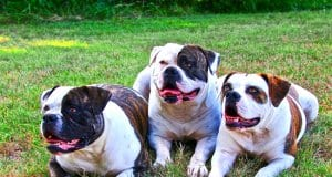 A trio of American bulldogs.