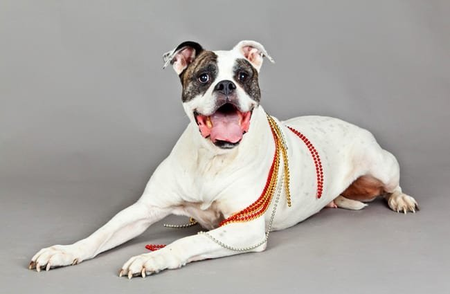 Portrait of an American bulldog. Photo by: (c) ewastudio www.fotosearch.com
