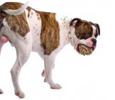 American Bulldog With A Ball In His Mouth. Photo By: (C) Esight Www.fotosearch.com