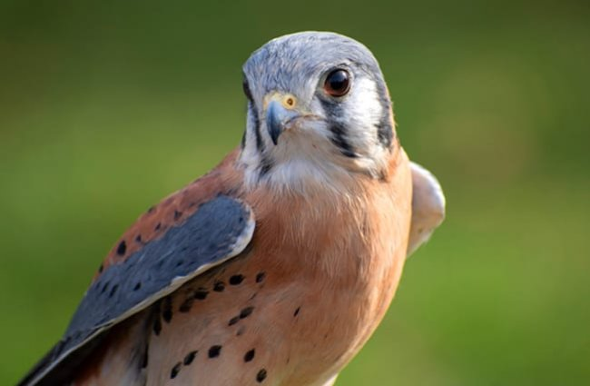 Beautiful American Kestrel.