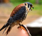 American Kestrel On A Falconry Perch.