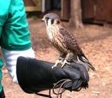 American Kestrel Trained For Falconry.