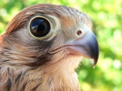 Closeup of an American Kestrel's face.