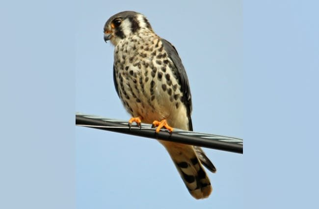 American Kestrel perched on a power line.