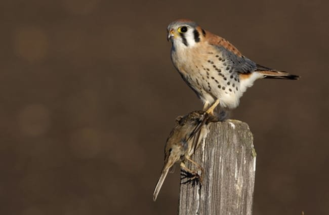 "American Kestrel - Photo by: Gregory ""Slobirdr"" Smith https://creativecommons.org/licenses/by/2.0/"
