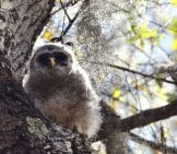 Baby Barred Owl In A Tree. Photo By: (C) Sadakko, Www.fotosearch.com