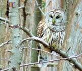 Camouflaged Barred Owl Perched In A Winter Landscape.
