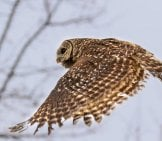 Barred Owl In Flight Toward A Nearby Stand Of Trees. Photo By: Tom Spine //creativecommons.org/licenses/by-Nd/2.0/