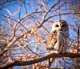 Barred Owl Perched In A Tree. Photo By: Zach Den Adel //creativecommons.org/licenses/by-Nd/2.0/