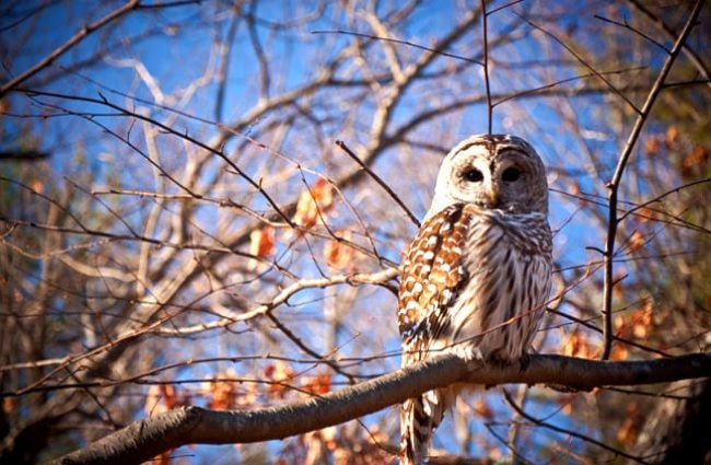 Barred Owl - Description, Habitat, Image, Diet, and