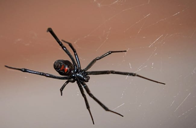 black widow spider description habitat image diet and