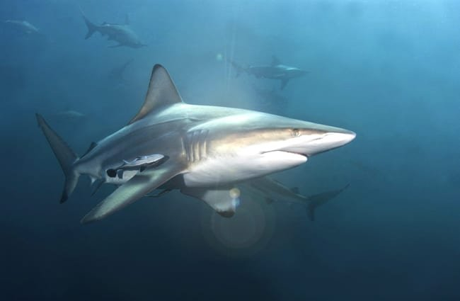 Close up of a blacktip shark, off the coast of South Africa. (c) FAUP www.fotosearch.com