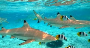 Blacktip sharks in the ultra-clear waters of Tahiti.(c) pljvv www.fotosearch.com