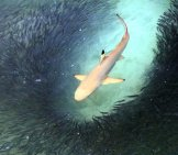 Blacktip Shark Feeding In Shallow Waters.(C) Ruthblack Www.fotosearch.com