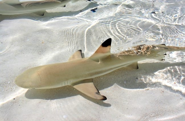 Baby blacktip shark, swimming over white sands.(c) sekundator www.fotosearch.com