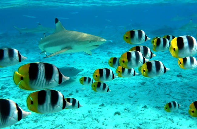 A blacktip shark chasing butterfly fish.(c) pljvv www.fotosearch.com