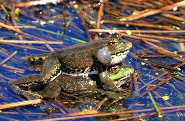 Bullfrogs mating.