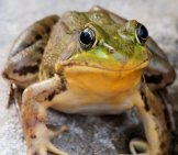 Bullfrog Sitting On A Rock In A Swamp.photo By: (C) Ygluzber Www.fotosearch.com