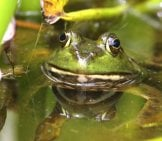 Bullfrog In The Swamp, Waiting For Prey. Photo By: (C) Ygluzber Www.fotosearch.com