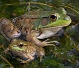 An Adult And Baby Bullfrog Sitting In A Pond Full Of Weeds. Photo By: (C) Cathykeifer Www.fotosearch.com