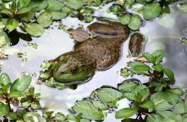 Bullfrog in a pond. Photo by: (c) sgarton www.fotosearch.com