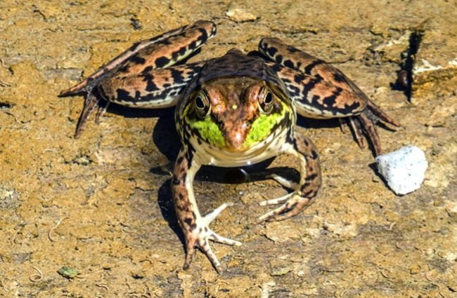 Bullfrog on the shore of the pond.