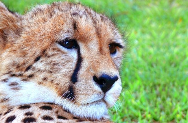Young male cheetah relaxing in the sun.