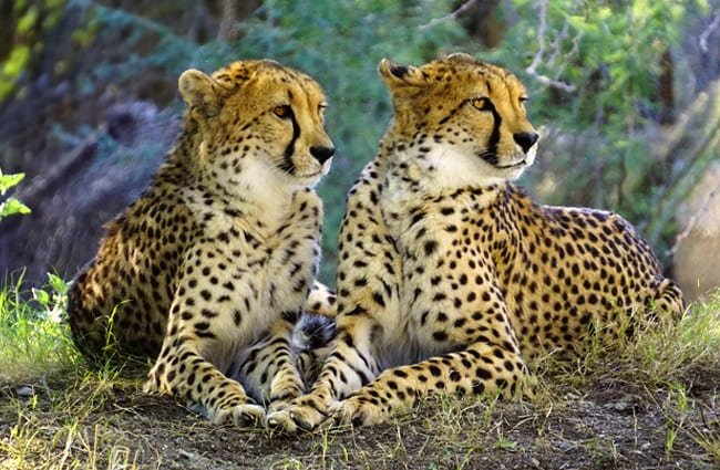 A pair of cheetahs in repose.